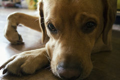 Dog. Little doggy, labrador. Smart eyes Stock Photos