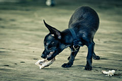 Dog. A little dog is having its breackfast Stock Images