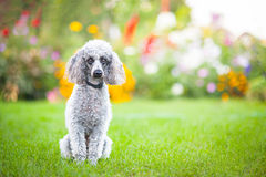 Dog. Little dog on tne grass Stock Photography
