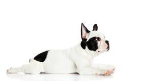 Dog is liying isolated on white background Stock Photography