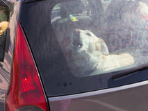 Dog locked in a car. Smart beautiful white dog barks, and is angry because she was locked up in a black car with red lights Royalty Free Stock Photos