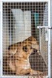 Dog locked in iron cage Royalty Free Stock Image