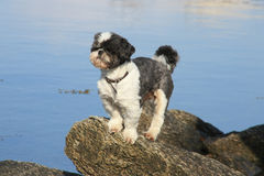 Dog on Lofoten's cliff. Small shi-tzus dog on the rocks of Busknesfjord , Lofoten islands royalty free stock photography