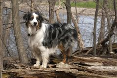 Dog on a log Stock Photography