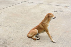Dog. Lonely Dog Thai dog on the floor Royalty Free Stock Photography