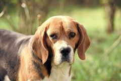 Dog with long ears on summer outdoor. Beagle walk on fresh air. Cute pet on sunny day. Companion or friend and. Friendship concept. Hunting and detection dog stock photos