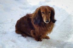 Dog long haired dachshund in winter. Chisinau, Moldova. Beautiful dog long haired dachshund stock photo