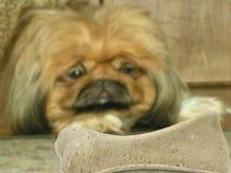 Dog look at bone royalty free stock images