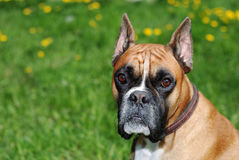 Dog look at camera against green background Royalty Free Stock Photos