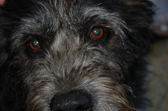 Dog. Look , Czech Fousek, black ,  face, talks eyes , the soul of the animal,thoughts,thinking Stock Photography