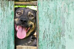 Dog look at outside from the hole in the old shabby light blue wooden fence, copyspace. stock image