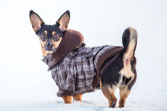 dog look, winter royalty free stock image