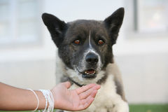 Dog looking. To the hand Royalty Free Stock Photo