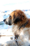 Dog looking. Tired dog looking on a boat Royalty Free Stock Photos
