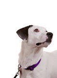 Dog looking. Towards white space - easy to expand for message use Royalty Free Stock Images