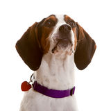 Dog looking. Towards white space - easy to expand for message use Stock Photo