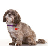 Dog looking Royalty Free Stock Image