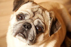 Dog looking. Big eyes Pug looking at camera Stock Photography