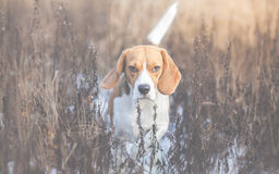 Dog looking alert with tail up Royalty Free Stock Images