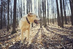 Dog in forest. Dog looking away. Happy labrador retriever on the walk in forest stock photo