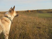 Dog looking away into the meadow in autumn royalty free stock images