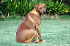 Dog looking back. A pregnant Rhodesian Ridgeback dog sitting on the grass and looking back Stock Image