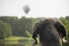 Dog looking at balloon Stock Image