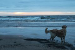 Dog looking at the sea. royalty free stock images