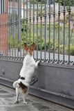 Dog looking beyond the gate Royalty Free Stock Photo