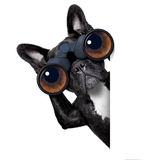 Dog looking through binoculars Stock Photo