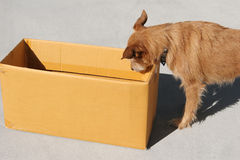 Dog looking into a box. Cute scruffy terrier dog looking into an empty cardboard box royalty free stock images