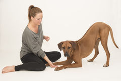 Dog looking at camera while  being trained Stock Photography