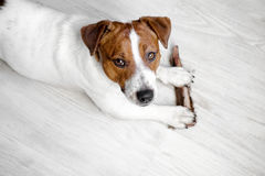 Dog looking at the camera, lying on the white floor with treat. Jack Russell Terrier Dog looking at the camera, lying on the white floor with velvet antler royalty free stock photography