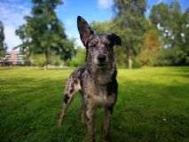 dog looking on camera with one ear up! Stock Photography