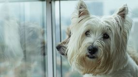 A dog looking at the camera and the other at the back, looking out the window. royalty free stock photo