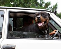 Dog looking through car window. Head of big black dog in car Stock Images