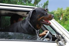 Dog looking through car window. Head of big black dog in car Royalty Free Stock Photography