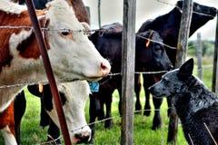 Dog looking at cows Stock Photos