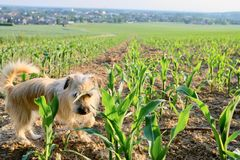 Dog looking curiously at the camera on a young corn field royalty free stock photos