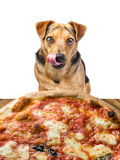Dog looking delicious pizza licking chops isolated stock photos