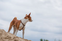 Dog looking into the distance Stock Photo