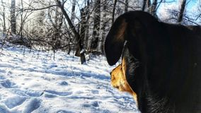 Dog looking in the distance in the winter. royalty free stock image