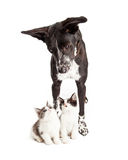 Dog Looking Down at Two Kittens Stock Image