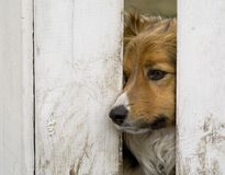 Dog looking through a fence. A border collie  dog looking through a fence  hole Stock Photos