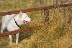 Dog Looking Through Fence Royalty Free Stock Photos