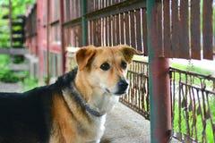 Dog looking at fence. Guard Royalty Free Stock Photo