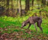 Dog looking for food on an autumn day royalty free stock photo