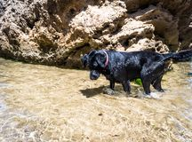 Dog searching for fish in the sea water. stock photography