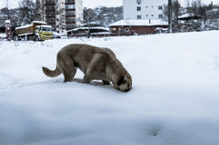 Dog Looking For Food In The Snow Royalty Free Stock Photo