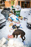 Dog looking for food on the snow covered streets Stock Images